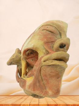 Deep muscles of mastication plastinated specimen