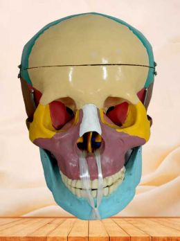 Colorful skull model