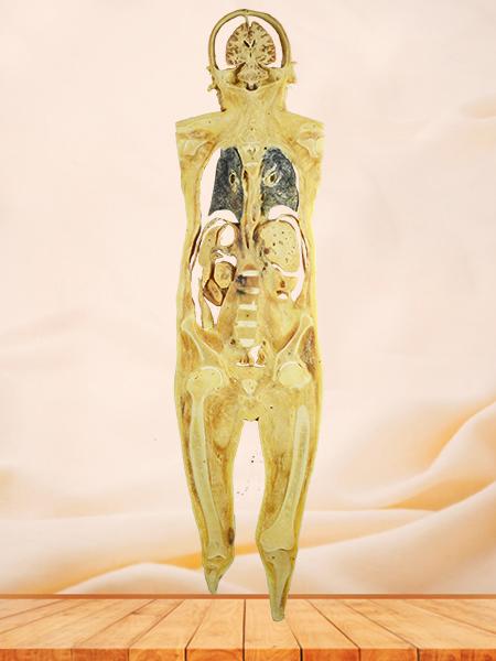 Coronal section of human body plastinated specimen