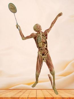 Playing badminton plastinated specimen